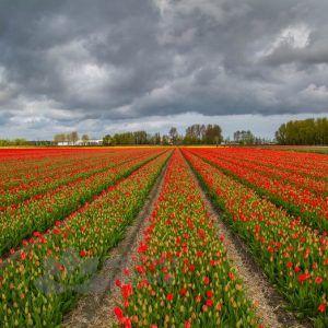 Netherlands_FiaTranh kính ốp tường hoa tulipelds_Tulips_Many_Red_547890_4285x2800
