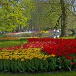 Tranh kính ốp tường hoa tulip